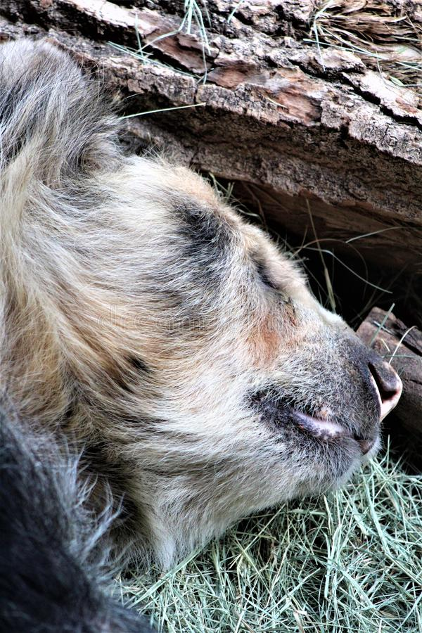 Андийский медведь кладя вниз на зоопарк Феникса, в Фениксе, Аризона, Соединенные Штаты стоковое фото