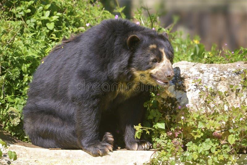 Андийский усаженный медведь стоковая фотография rf