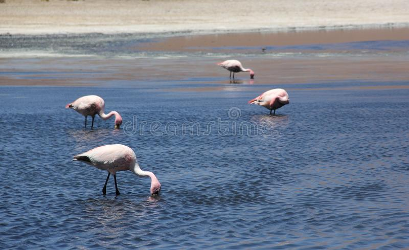 Андийский фламинго в Laguna Колорадо стоковые фото