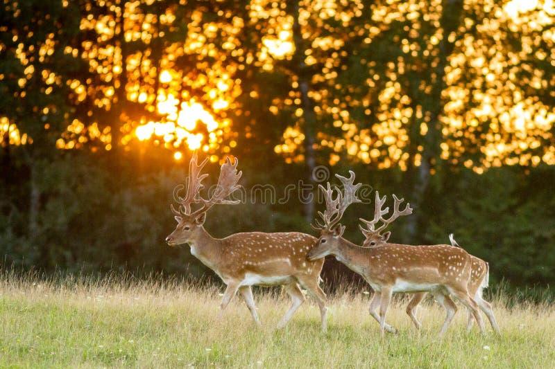 3 лани идя на траву в заходе солнца стоковая фотография