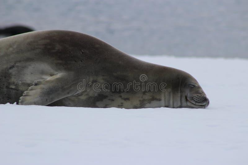 Антарктика - уплотнения стоковая фотография rf