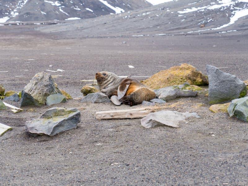 Антартический морской котик, gazella котика отдыхая на пляже Wh стоковое изображение