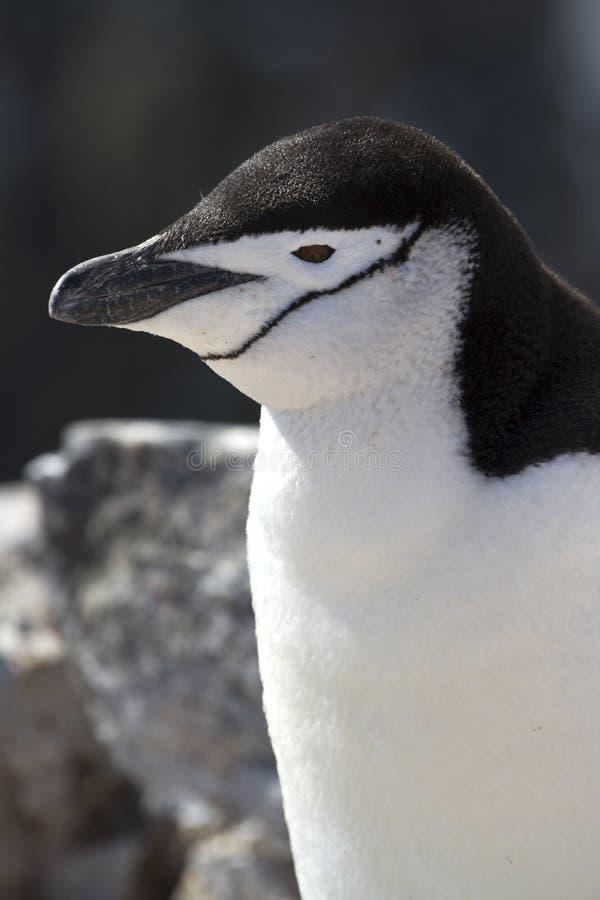 Антартический портрет пингвина или летний день Chinstrap стоковое фото