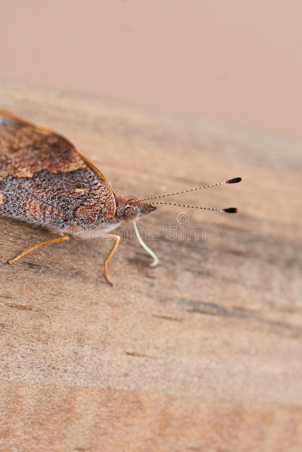 Антенна бабочки Брайна стоковые изображения rf