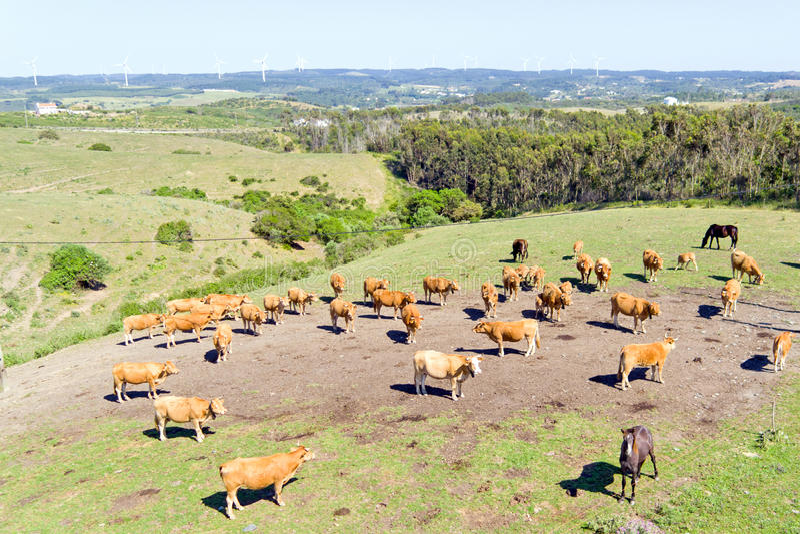 Антенна от коров в сельской местности от Португалии стоковая фотография