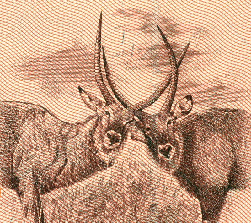 антилопа 2 стоковое изображение rf