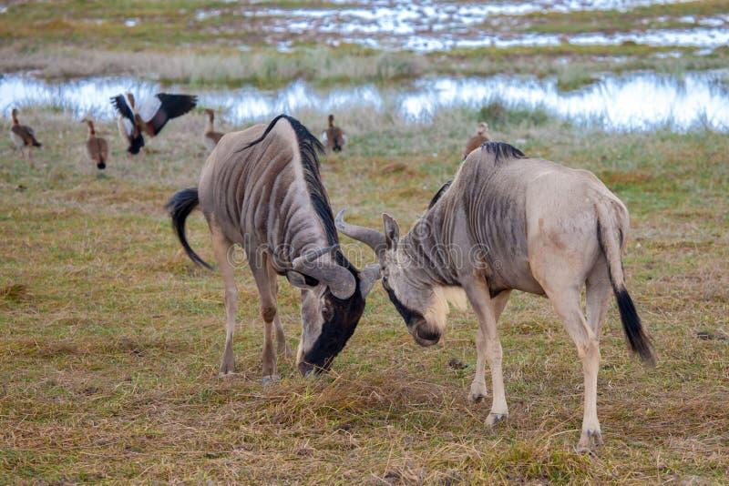 Антилопы воюют, гну, на сафари в Кении стоковые фотографии rf