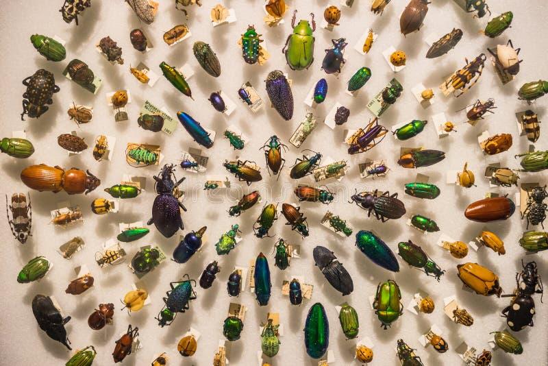 Античное собрание жука приколотое для восхождения на борт стоковое изображение rf
