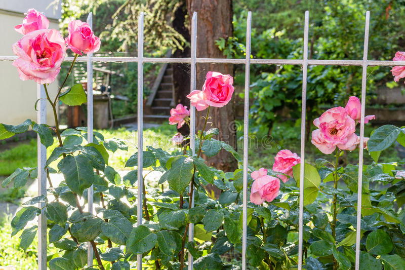 Античные розовые розы за белыми перилами стоковое фото rf