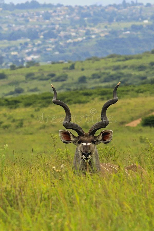 Антилопа в парке сафари в Южной Африке стоковые фото