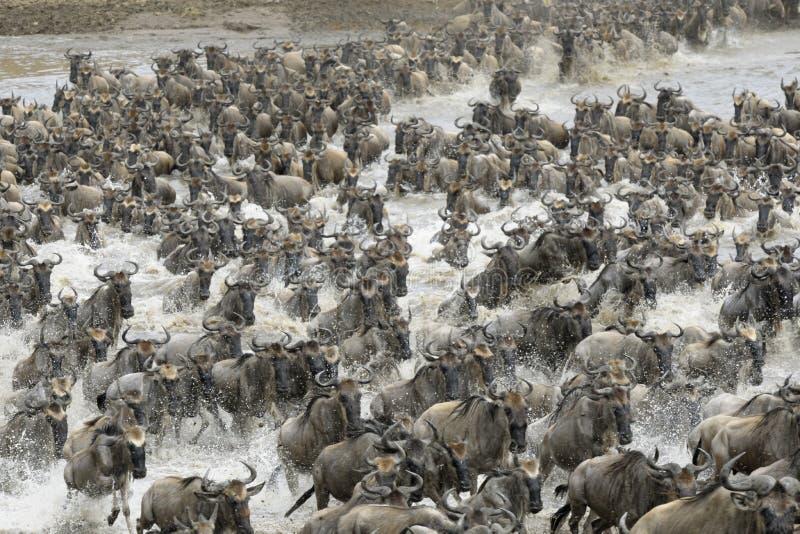 Антилопа гну стоковое изображение