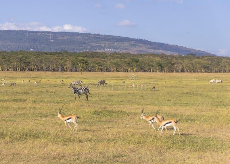 Антилопа и зебра стоковое фото
