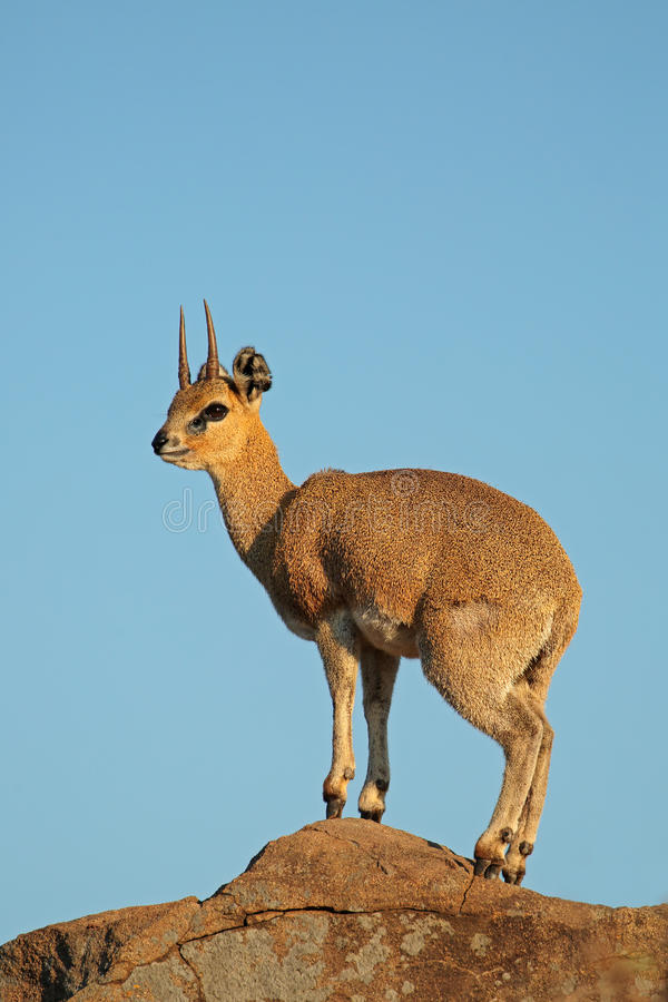 Антилопа Klipspringer на утесе стоковая фотография rf