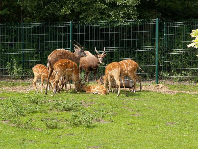 Антилопы Sitatunga в зоопарке стоковое фото rf