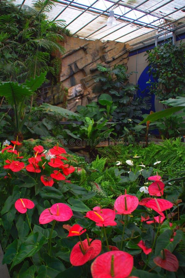 Антуриумы в тропическом саде стоковая фотография