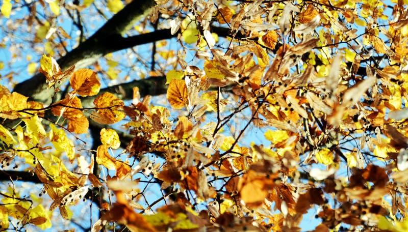 Апельсиновое дерево, сухие листья и голубое небо, запачканная естественная предпосылка осени экологичности стоковые фото