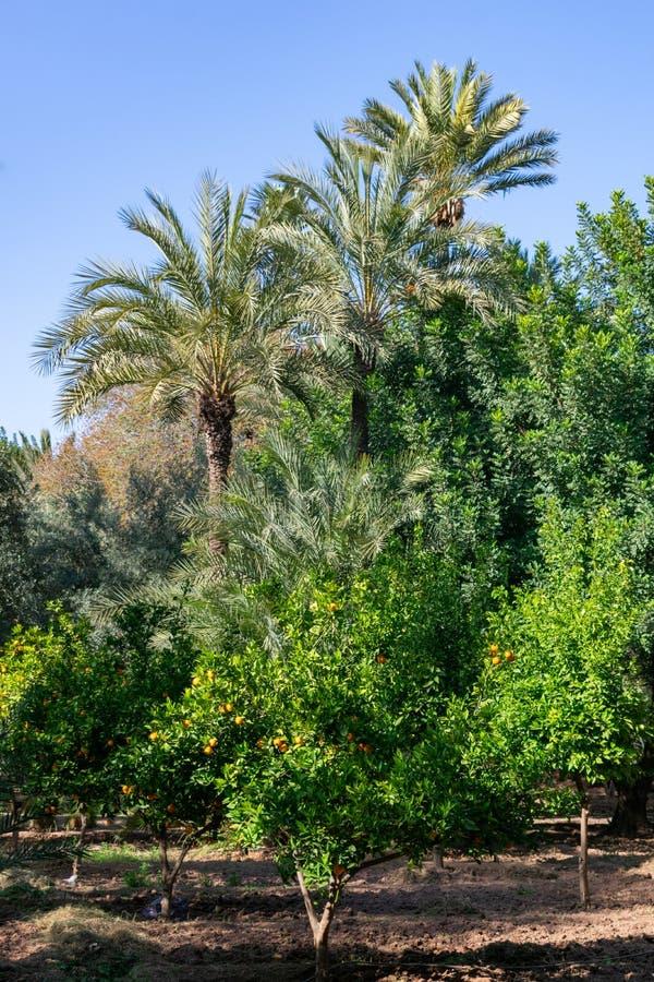 Апельсиновые деревья и пальмы на парке кибер в Marrakesh Марокко стоковые фотографии rf