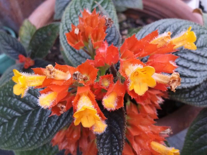 Апельсин желтого цвета цветка стоковое изображение rf
