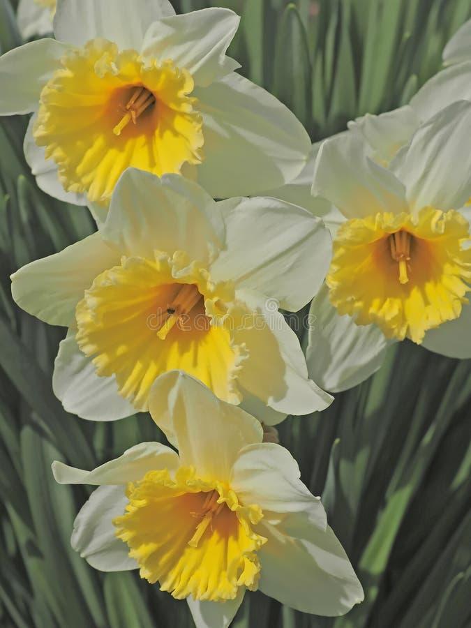 Апельсин заполнил зацветая daffodils стоковое изображение