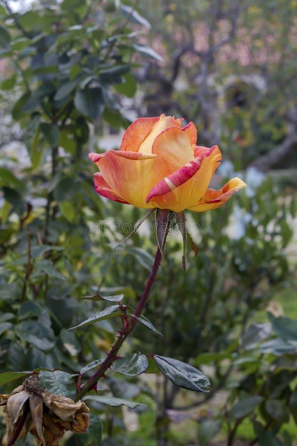 Апельсин осени, декоративная роза растет на цветнике в конце-вверх сада стоковые фото