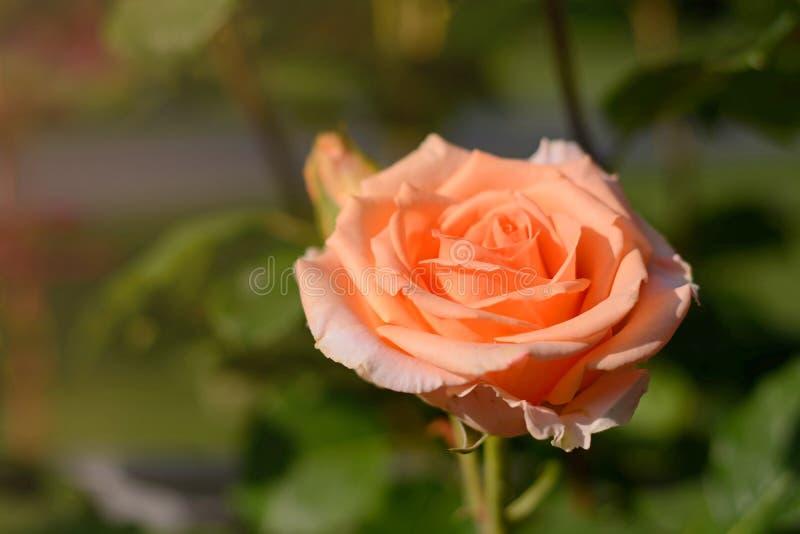 Апельсин поднял цвести крупный план бутона цветка на заходе солнца на зеленой естественной предпосылке стоковые фотографии rf