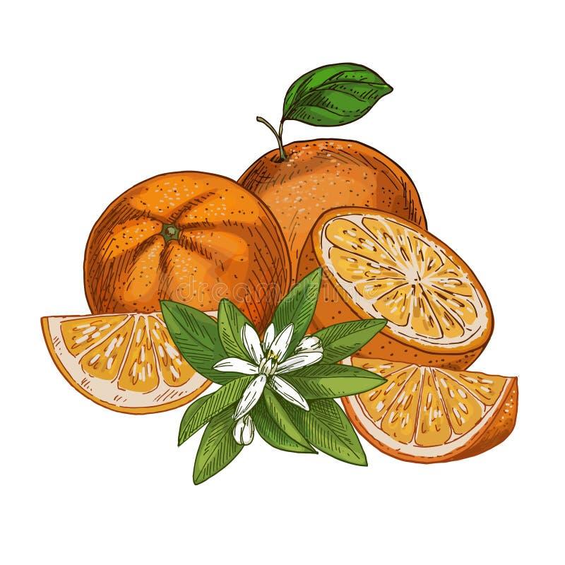 Апельсин, приносить, половины и части с цветком f иллюстрация вектора