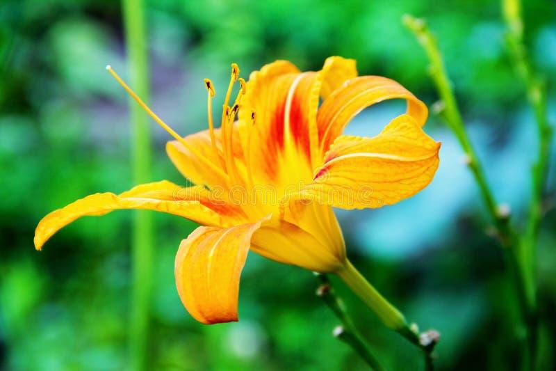 Апельсин цветка лилии стоковые фото