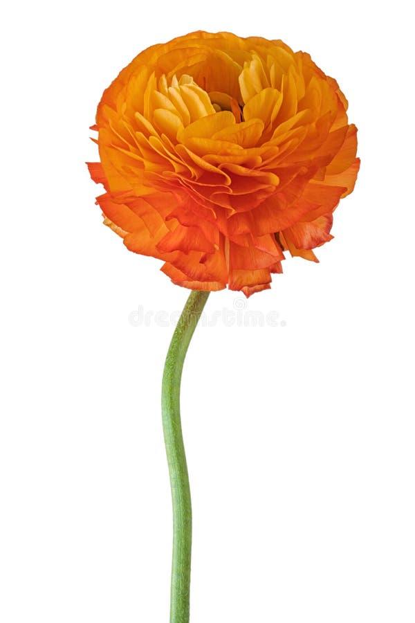 Апельсин blossomed лютик длинная нога стоковое фото