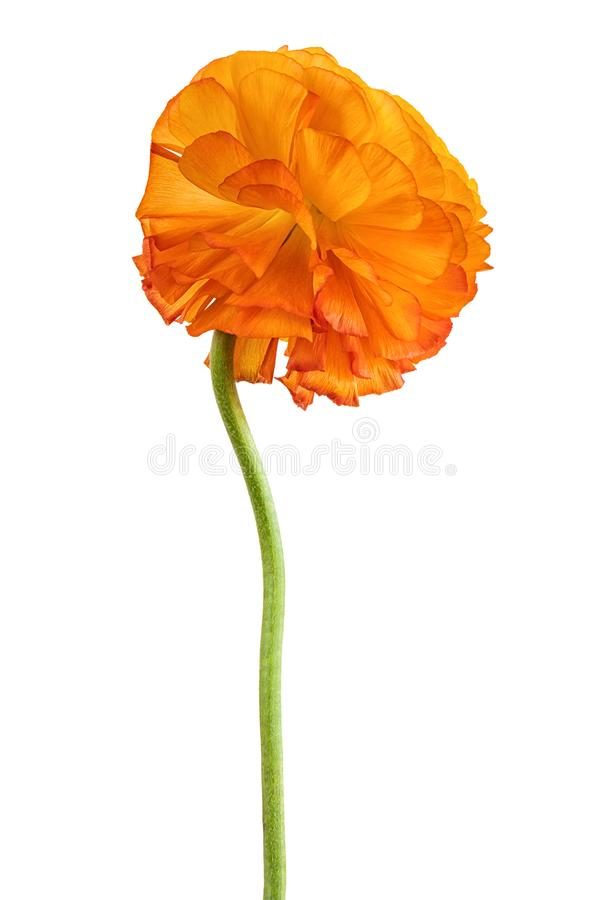 Апельсин blossomed лютик длинная нога стоковое изображение rf