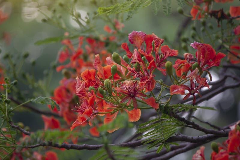 Апельсин Flam-boyant, дерево пламени или королевское цветене Poinciana в саде стоковые изображения