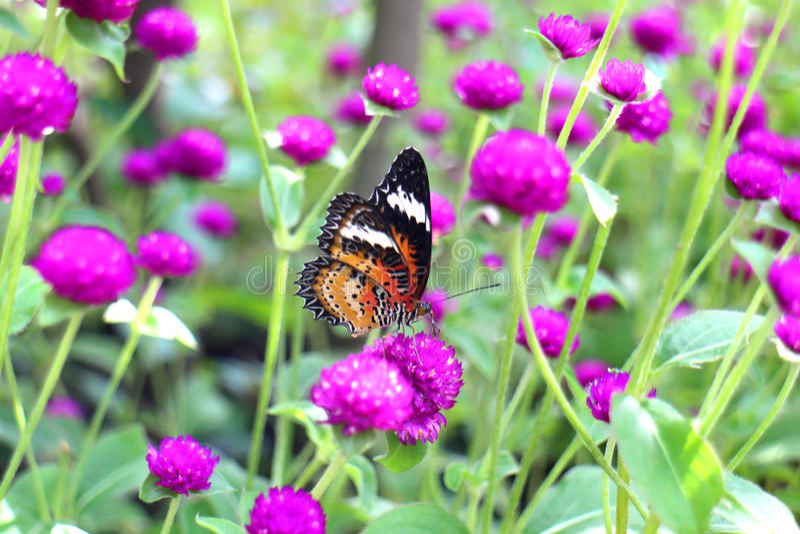 Апельсин и чернота поставили точки крыла в парке луга, бабочке Lacewing леопарда на цветке фиолетового амаранта стоковые изображения
