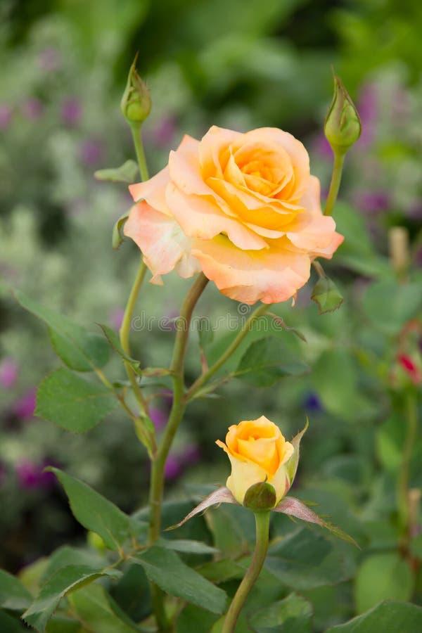 Апельсин Роза в Portorose Словении стоковая фотография