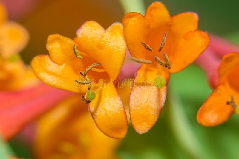 Апельсин цветет каприфолий Брайн стоковое фото