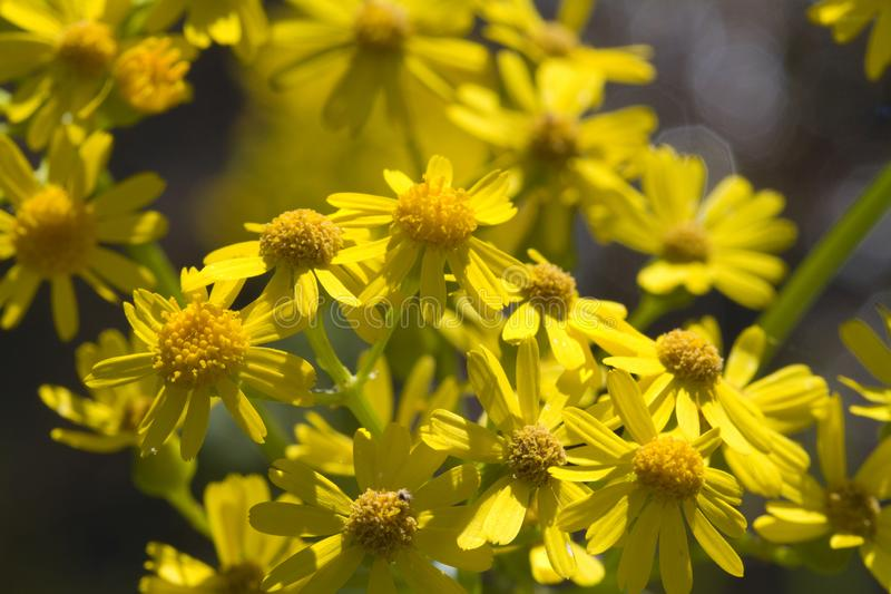 Аппалачские Wildflowers Ragwort - anonyma Packera стоковое фото