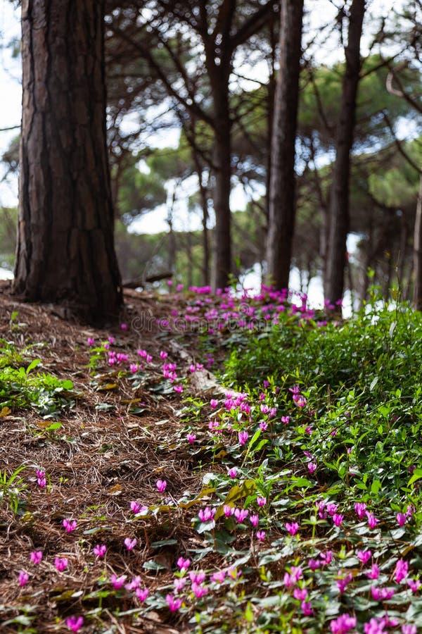 Апрельские цветы под соснами в Пинета-ди-Сесина стоковые изображения rf