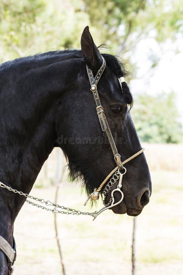 арабская лошадь стоковая фотография rf