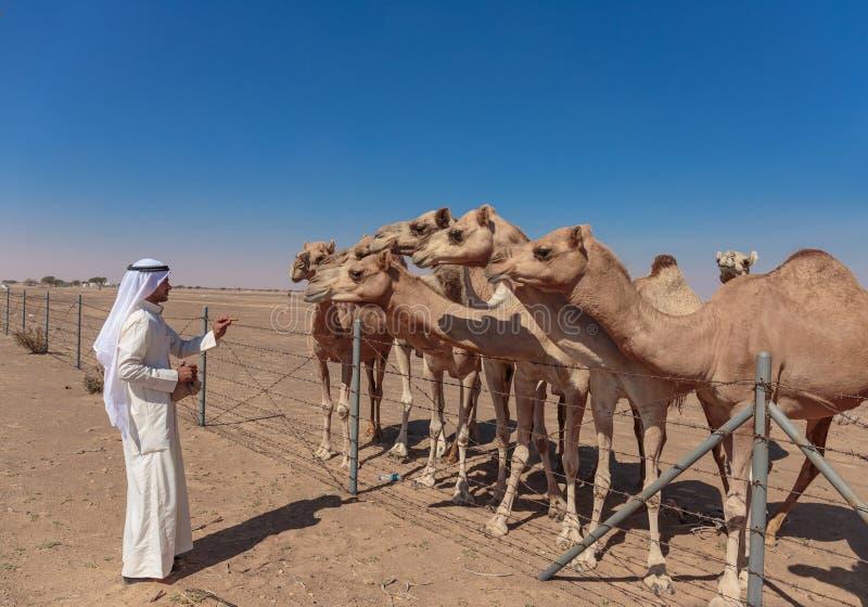 Арабские люди и верблюды на ферме стоковая фотография rf