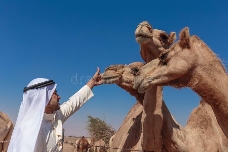 Арабские люди и верблюды на ферме стоковое фото