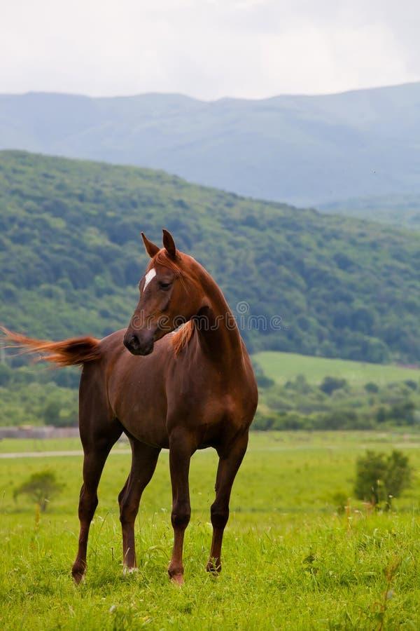 Арабский гонщик стоковая фотография rf