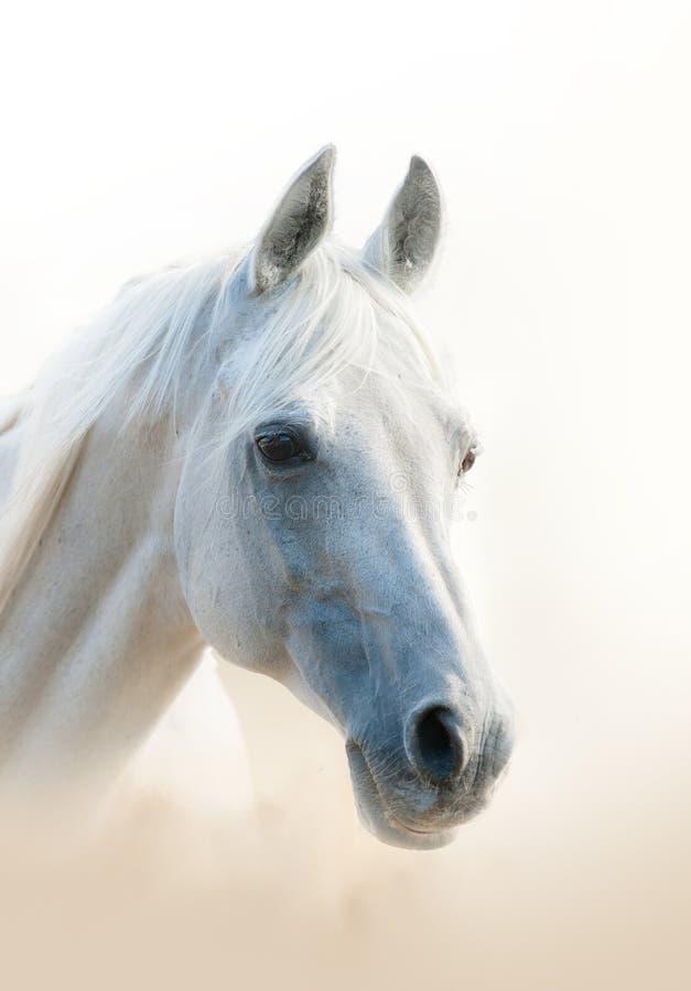 аравийская белизна портрета лошади стоковое изображение rf