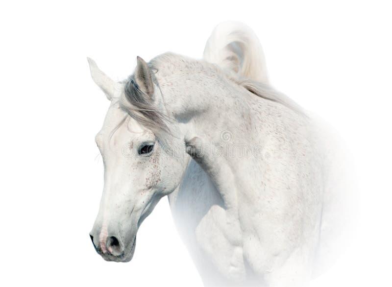 аравийская белизна лошади стоковые изображения rf