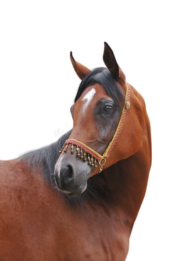 аравийская изолированная лошадь стоковые изображения rf