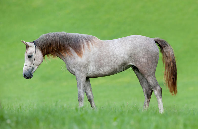 аравийская лошадь поля стоковые фото