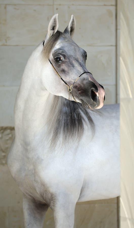 аравийская шикарная серая лошадь стоковые изображения