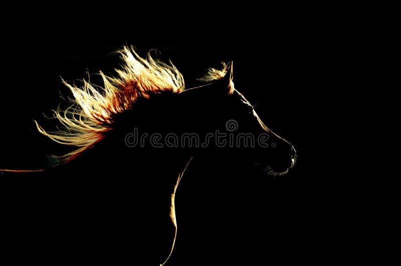 Аравийский силуэт лошади на черной предпосылке стоковое фото rf