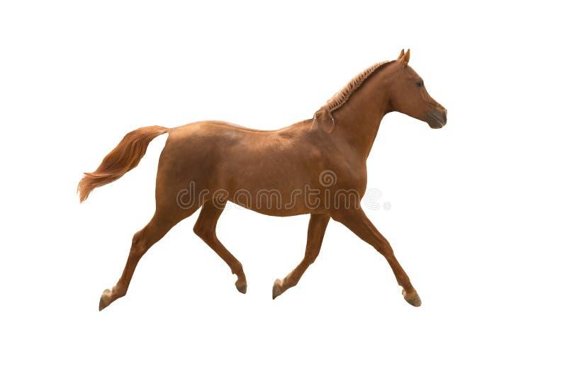 аравийский ход лошади стоковое изображение rf