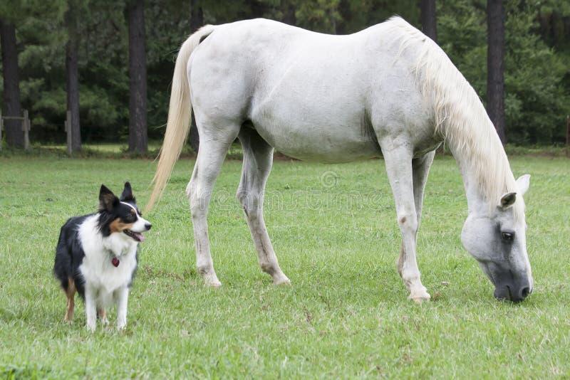 Аравийский целовать лошадей стоковые изображения