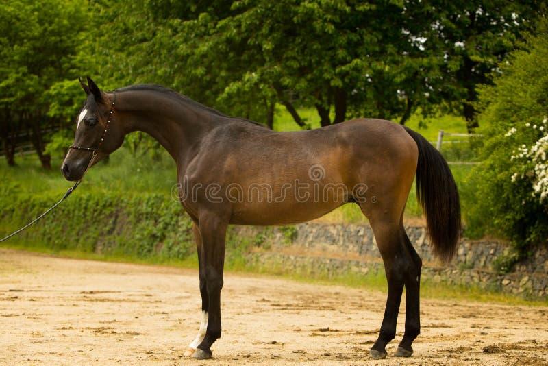 аравийский черный жеребец стоковые изображения rf