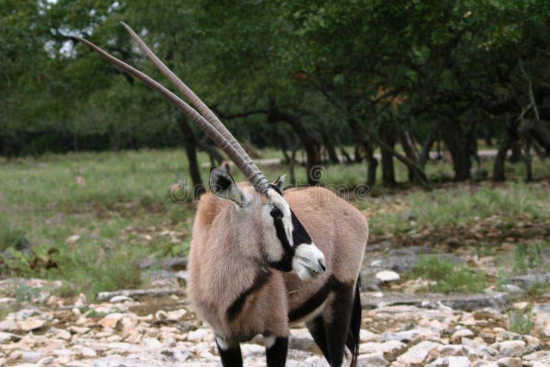 аравийский oryx стоковое фото rf