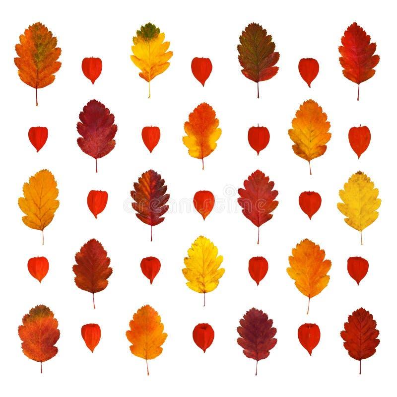 Аранжированные красочные желтые, красные, оранжевые, коричневые листья падения боярышника и фонарики физалиса, изолированные на б стоковая фотография rf